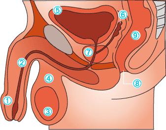 cual es el tamaño de una prostata normal